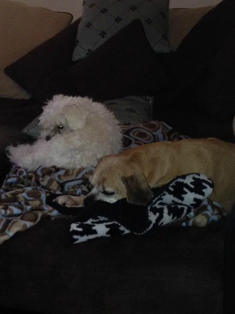 Puggle and Maltipoo